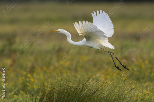 Grande Aigrette - Ardea alba - Great Egret Canvas Print