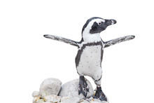 Baby Penguin With Wings Outstr...