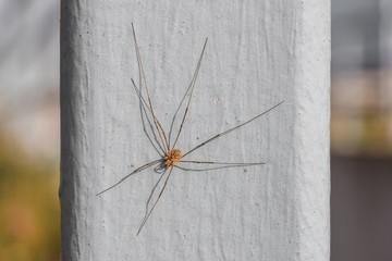 Nahaufnahme einer Weberknecht Spinne im Sommer
