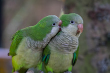 The Monk Parakeet (Myiopsitta ...