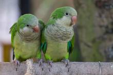 Beautiful Monk Parakeet (Myiop...