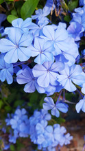 Light Blue Plumbago With Multi...