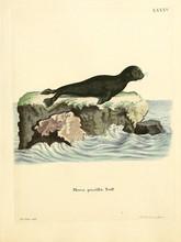 Old Illustration Of Seals.