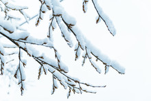 Bush Branches Covered With Snow In Morning