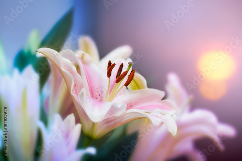 Pink lilly in the garden and tone color pink,Lilly flowers (shallow dof) Natural Fototapete