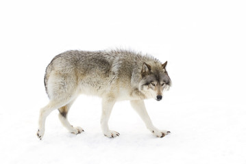 Timber wolf or Grey Wolf (Canis lupus) isolated on a white background walking in the winter snow in Canada