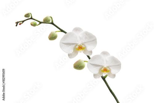 Papiers peints Orchidée Orchidée et ses gouttes d'eau