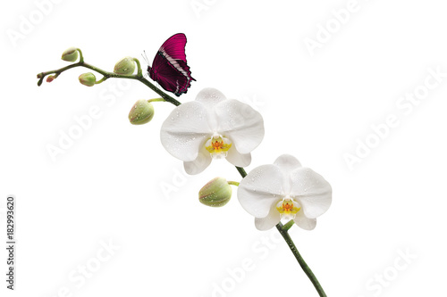 Papiers peints Orchidée Orchidée et son papillon