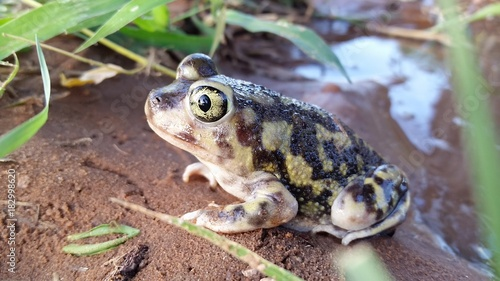 Photo Couch's Spadefoot Toad in South Texas Desert After Rainstorm,  Scaphiopus couchi