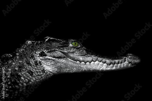 Photo sur Toile Crocodile Crocodile: portrait on black