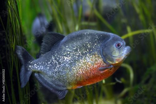 Piranha Canvas-taulu