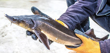 Live Fish Sturgeon