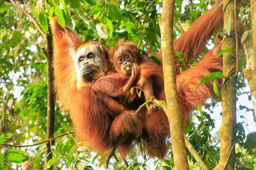 Female Sumatran orangutan with a baby hanging in the trees, Gunung Leuser National Park, Sumatra, Indonesia