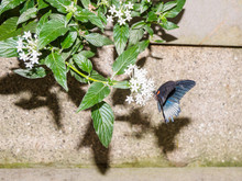 Great Mormon Butterfly ((Papil...
