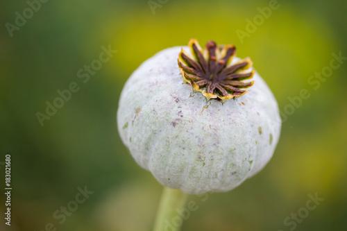 Closeup of a poppy flower head - 183021680