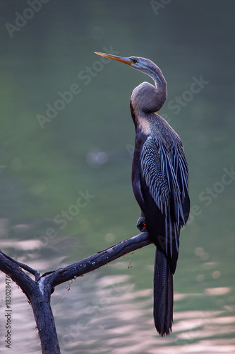 Oriental darter (Anhinga melanogaster) sitting on a tree in Keoladeo Ghana Natio Canvas Print