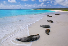 Group Of Galapagos Sea Lions R...