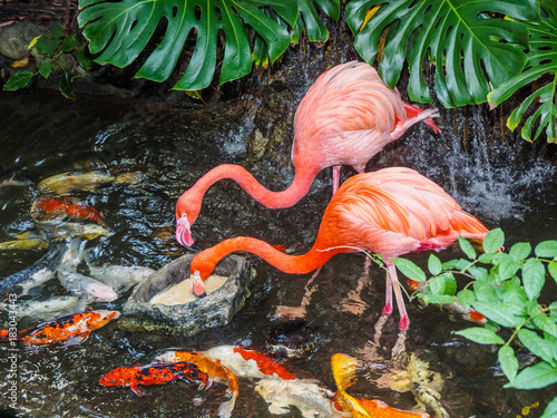 Two flamingos in the water stream with koi fish