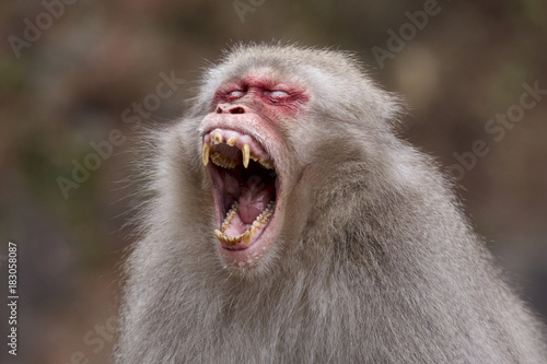 Fotografía 地獄谷温泉の激怒するスノーモンキー