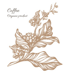 Plakat Realistic coffee branch. Botanical contour drawing. Vector
