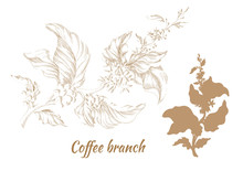 Set Of Branches Of Coffee Tree With Leaves And Beans. Vector