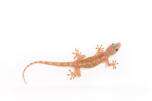 Tokay Gecko, Gekko On White Wall