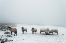 Sheep In The Snow Yorkshire