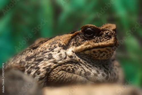 Fotografija  Cane toad or Rhinella marina close