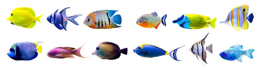 Kolekcja tropikalna ryba na białym tle