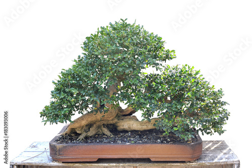 In de dag Bonsai Bonsai of a common ash