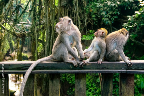 Foto op Canvas Aap family of monkeys in monkey forest in bali, ubud, indonesia