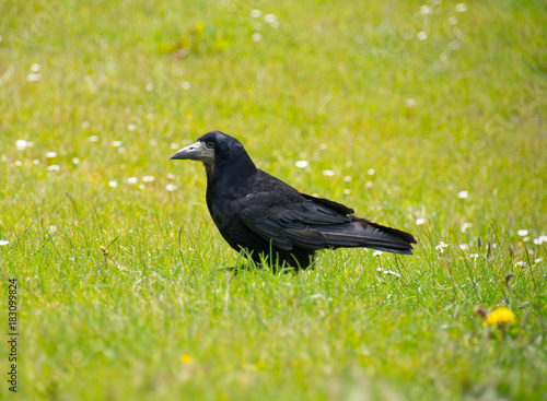Valokuva  Rook on garden lawn