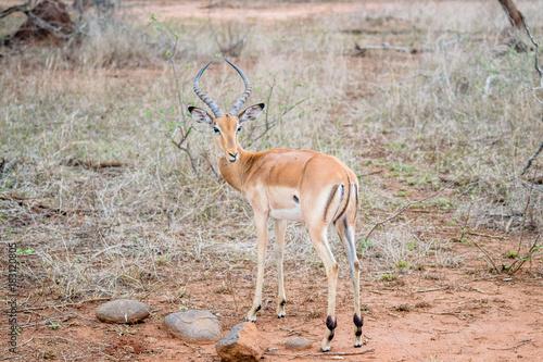 Antelope gazelle