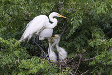 Great White Heron With Chicks