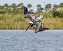 Brown Pelican Falling Down
