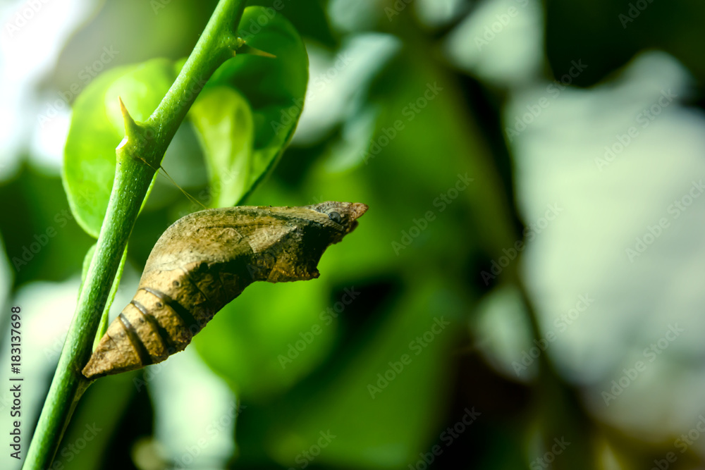 Soft focus on the pupa of butterfly (Lime butterfly) on lemon tree.