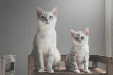 Cute American Short Hair Cats ...