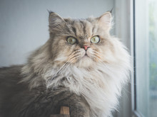 Close Up Of Persian Cat Looking At Camera Under Sun Light From A Window