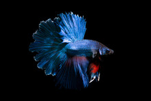 Fancy Betta Fish,Blue Siamese Fighting Fish On Black Background Isolated