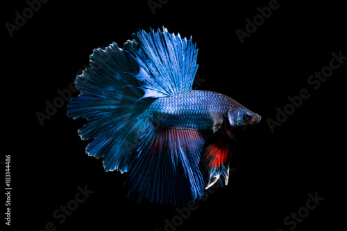 Photo Fancy betta fish,Blue siamese fighting fish on black background isolated
