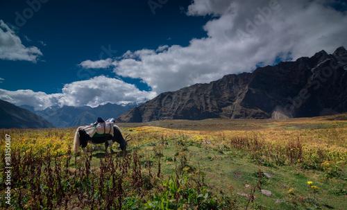 Foto op Aluminium Nachtblauw a yak graze in the valley