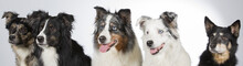 Group Of Dogs In A Studio. Australian Shepherd Dogs. Image Taken In A Studio With White Background. Panoramic Photo.