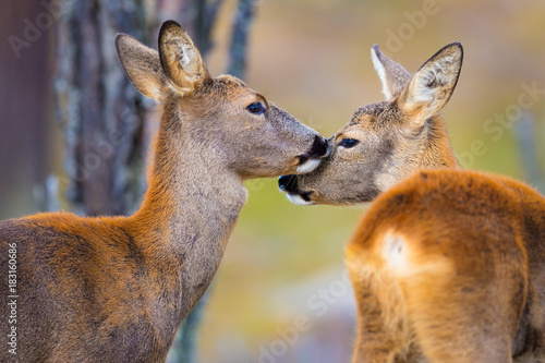 Cadres-photo bureau Roe Two cute roe deers in the forest at fall
