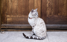 White Bengal Cat, A Domestic C...
