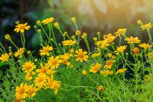 Wedelia Paludosa, A Beautiful  Litter  Yellow Flowers.