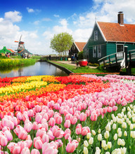 Rural Dutch Scenery Of Small Wooden Houses And Canal In Zaanse Schans, Netherlands With Tulip Flowers