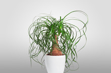 Potted Evergreen Ponytail Palm (Beaucarnea Recurvata) Isolated On Grey Background