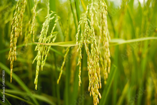 Stampa su Tela A young rice in the paddy field . Shallow DOF and selective focus
