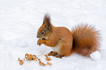Close Up Cute Red Squirrel Eating Nut On Snow In Winter Forest. Funny Hokkaido Squirrel Ezorisu.