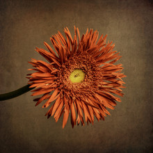 Orange Gerbera, Textured Backg...